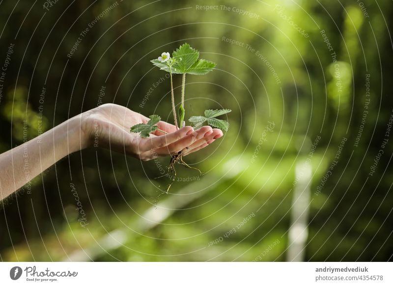 Umwelt Earth Day In den Händen der Bäume wachsen Setzlinge. Bokeh grünen Hintergrund Weibliche Hand hält Baum auf Natur Feld Gras Waldschutzkonzept. Erde