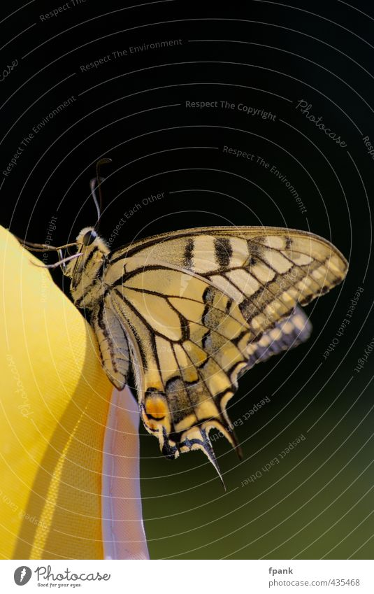 Am Rand des Sonnenschirmuniversums Natur Tier schwarz gelb Beine Wildtier Flügel Schmetterling Fühler