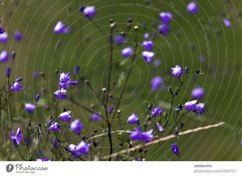 Kleine blaue Blüten blume blüte glockenblume romantik romantisch natur wiese pflanze garten wald park wachstum tiefenschärfe schärfentiefe sommer ferien urlaub