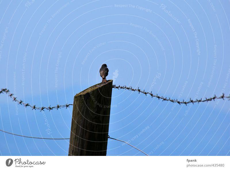 Am Stacheldrahtzaun Himmel Sommer Schönes Wetter Tier Wildtier Vogel Singvogel 1 Holz frei blau Freiheit Farbfoto Außenaufnahme Tag