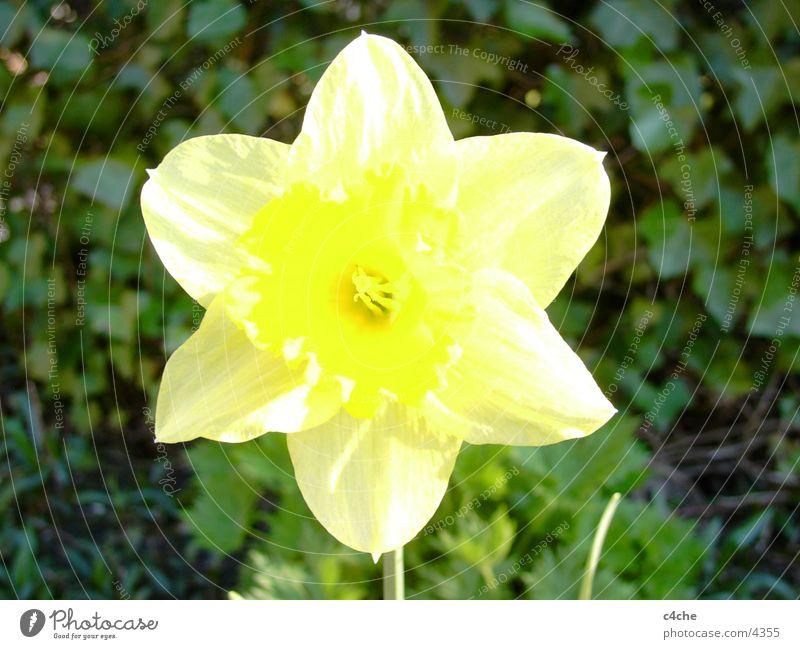 Flower Blume gelb Pflanze Frühling Osertglocke Natur Freiheit