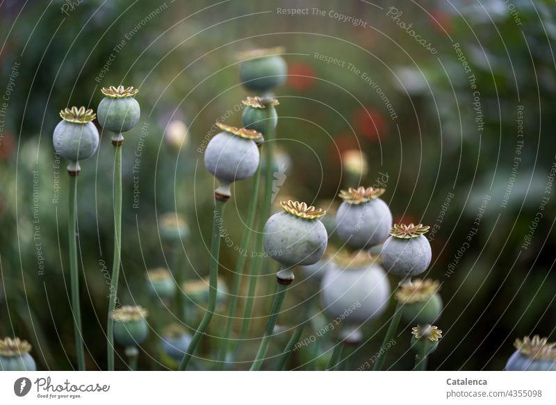Mohnkapseln am Montagmorgen Natur Flora Pflanze Blüte Sommer Tageslicht Garten Mohngewächse Papaveraceae Schlafmohn Papaver somniferum Grün Rot