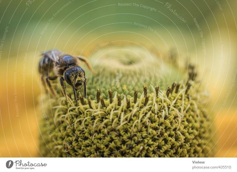 ...beeparadise II Natur Pflanze Blume Blüte Biene Wespen Duft gelb Nektar Farbfoto Makroaufnahme Unschärfe Schwache Tiefenschärfe