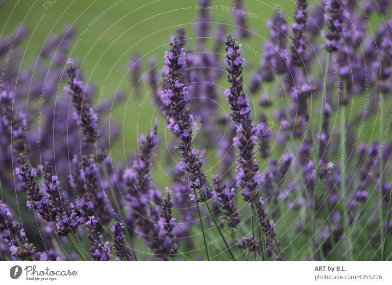 Lavendel pflanze duft duftig aroma blume heilpflanze blüten garten natur Lavendelbeet blumenbeet