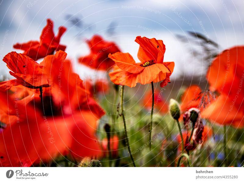 verwehter mo(h)ntag Schönes Wetter Blühend prächtig Mohnblüte Sommer Außenaufnahme Menschenleer Blume Sonnenlicht leuchtend Blatt schön Garten Unschärfe