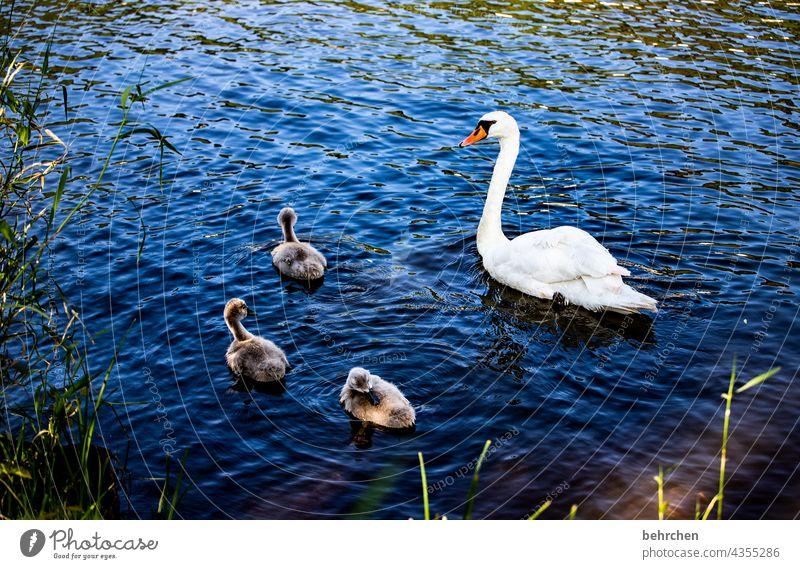 hässliches entlein? so falsch, weil so wunderschön! in vollkommenheit! Mosel Wasser Fluss beschützen Vertrauen gemeinsam Zusammensein niedlich Jungtier Familie
