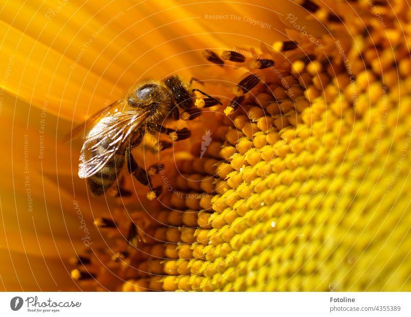 Gärtnern für Anfänger VIIII - Eine von 160 gepflanzten Sonnenblumen in Fotolines Vorgarten hat Besuch von einer fleißigen Honigbiene. Blume Steingarten Pflanze