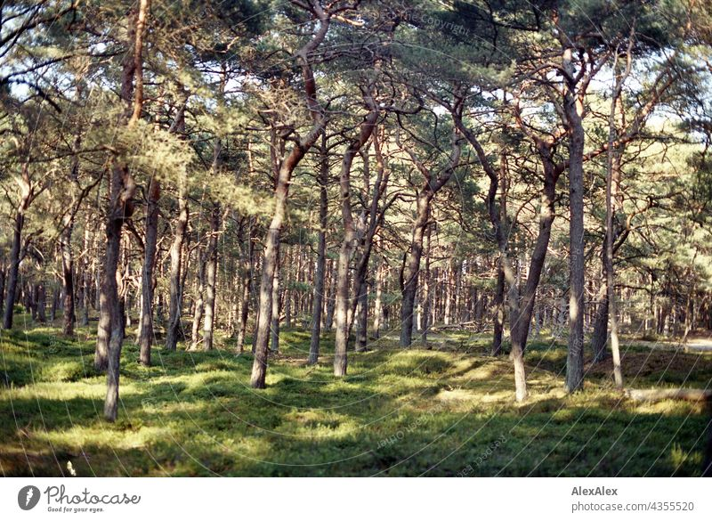 Sonnendurchfluteter Nadelwald hinter dem Deich an der Ostsee Natur Pflanzen grün Sommer schönes Wetter Gras Sonnenlicht warm analog Körnung 35mm Landschaft
