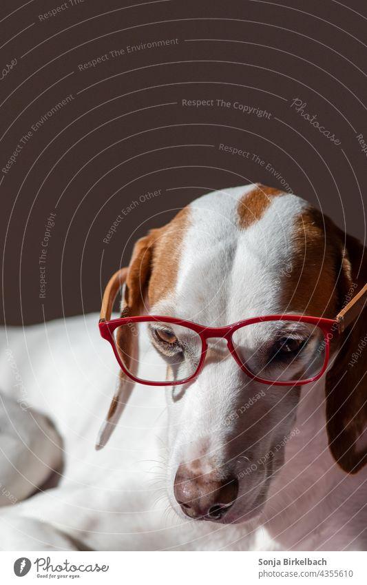 Homeoffice- Istrianer kurzhaarige Bracke trägt eine Lesebrille Hund Haushund Jagdhund Laufhund Schweißhund Meutehund Brille Rote Brille rot Hundehaltung lustig