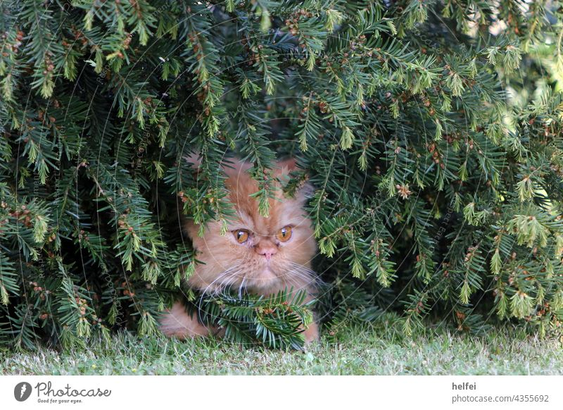 Perser Katze guckt grantig und versteckt sich in Büschen aus Nadelholz Perserkatze Tier Tiergesicht sitzen Blick nach hinten Blick in die Kamera Tierporträt
