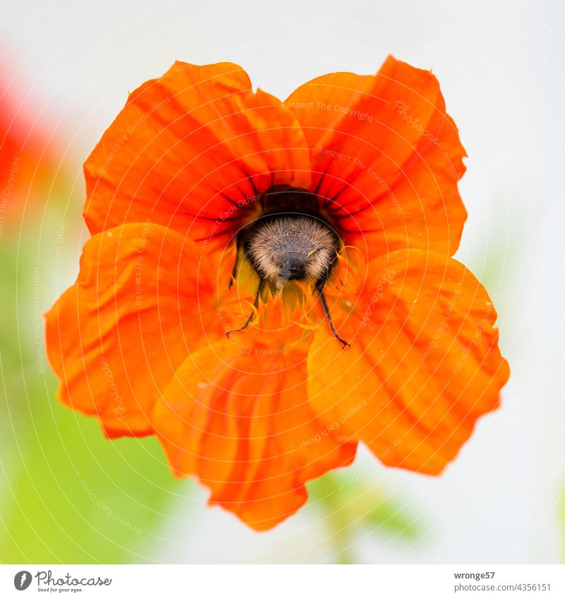 Nahaufnahme einer Hummel auf der Suche nach Pollen in einer Blüte der Kapuzienerkresse Pollensuche Nahrungssuche Blume Pflanze Kapuzinerkresse Kapuzinerblume