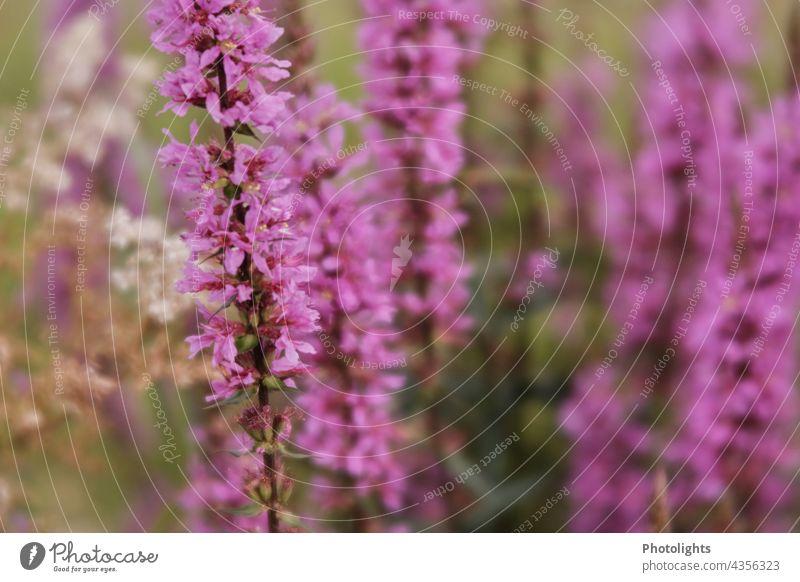 Rosa Blütenmeer am Wegesrand. Gewöhnlicher Blutweiderich. Blumen Pflanzen gewöhnlich Feldblumen Wiesenblumen rosa grün unscharf Blumenwiese Natur blühend