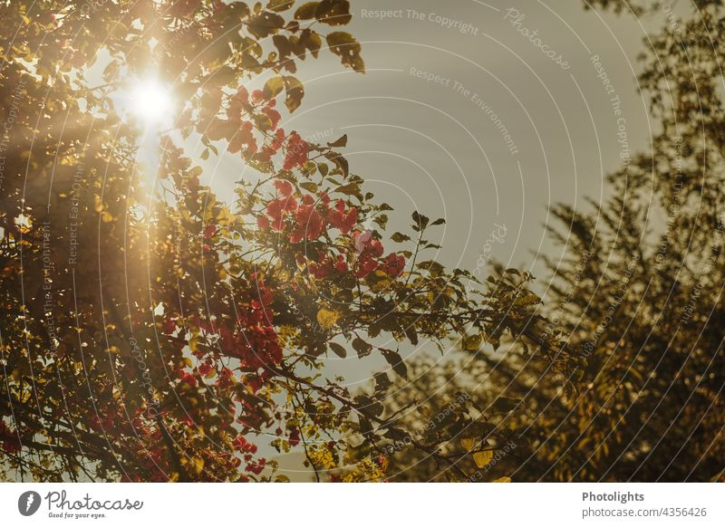 Eine Kletterrose im Gegenlicht. Rose Heckenrose Sonne Sonnenstrahlen Pflanze Farbfoto Außenaufnahme Sonnenlicht Natur Menschenleer Sommer Tag Schönes Wetter