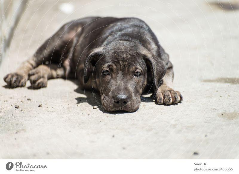 too hot outside Tier Haustier Hund Tiergesicht 1 beobachten Erholung liegen Blick träumen Coolness niedlich Tierliebe Gelassenheit geduldig ruhig Traurigkeit