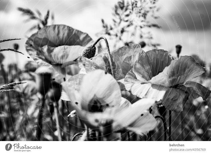 mo(h)ntagsblues Schwarzweißfoto Mohnfeld Pflanze Natur Frühling Blume Blüte blühen duftend wunderschön Kontrast Mohnblüte Blütenstaub Außenaufnahme Wärme
