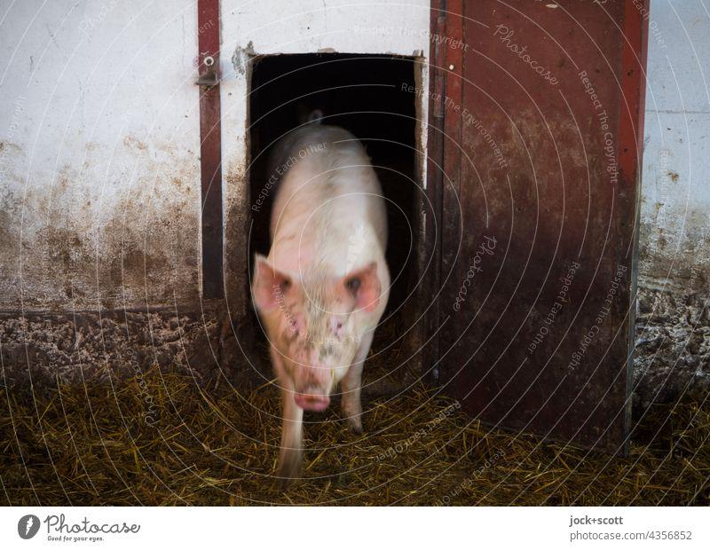 die Sau rauslassen Schwein Stall Nutztier Tierporträt Bauernhof Vorderansicht Schweinerei Saustall Viehzucht Schweinestall Landwirtschaft Hausschwein dreckig
