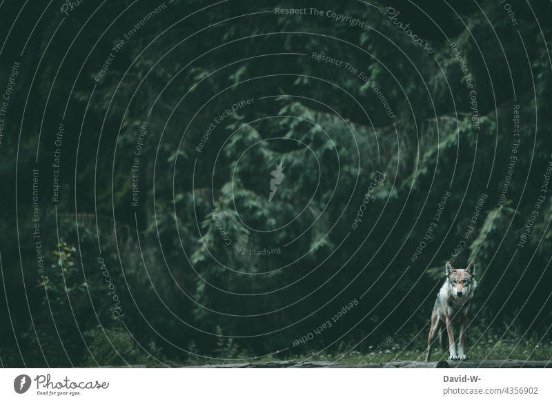 ein Wolf im Wald Lichtung düster Natur Bäume dunkel beobachten achtsam