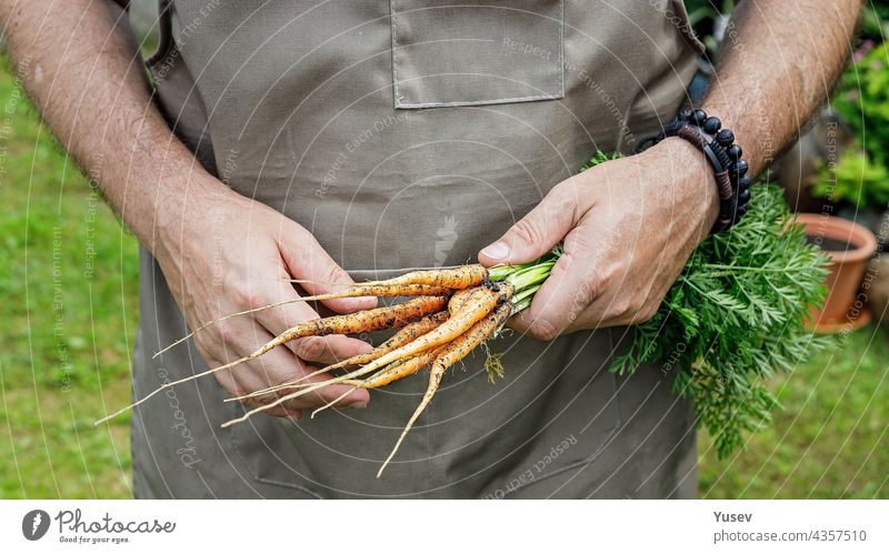 Menschliche Hände halten eine Karotte mit Blättern. Herbst Ernte Konzept. Landwirt Bio-Produkte. Gesunde Lebensmittel Landwirtschaft. Männliche Hände halten ein frisches Gemüse