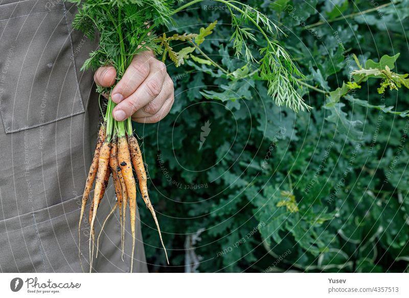 Bauer hält eine frische Karotte in der Hand. Herbst Ernte Konzept. Landwirt Bio-Produkte. Gesunde Lebensmittel Landwirtschaft. Mann hält ein frisches Gemüse in den Händen. Kopieren Raum