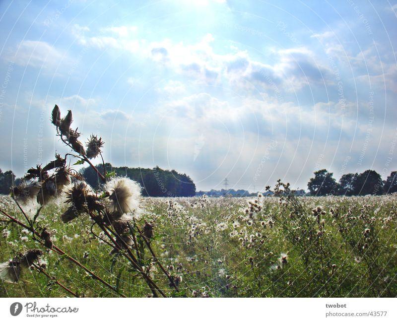 sommersonnenwiese Sommer Sommertag Sonne Beleuchtung Licht Physik Wolken zyan Wiese Gras Löwenzahn Distel grün Wolle weiß weich stachelig Frühling ländlich