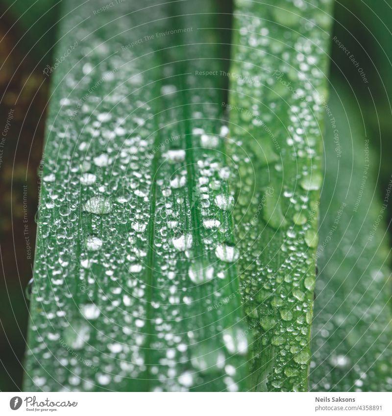 Frisches grünes Gras mit Wassertropfen, Nach dem Regen. Schöne Regentropfen auf den grünen Blättern, Regentropfen bedeckt die Stängel von grünem Gras Nahaufnahme. Abstrakter Hintergrund.