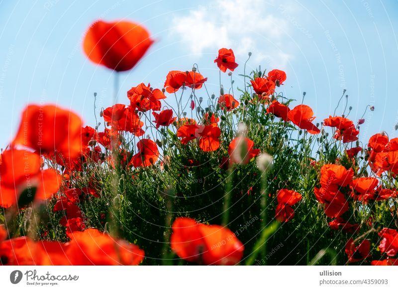 rote Mohnblumen im Vorder- und Hintergrund auf einem Hügel unter einem blauen Sommerhimmel Blumen Vordergrund Schräglage viele Himmel Szene Harmonie wild