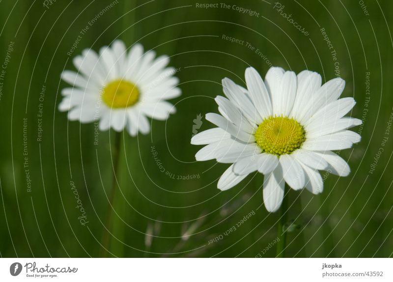 gelb auf weiß auf grün Natur Pflanze Sommer Blume Wiese Gras Blüte Garten Frühling frisch Rasen Schönes Wetter