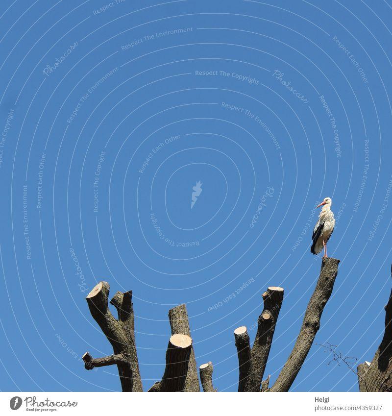 gute Aussicht - ein Storch steht vor blauem Himmel hoch oben auf einem abgesägten Baumstamm Weißstorch stehen schauen Ausguck Ausblick schönes Wetter Vogel