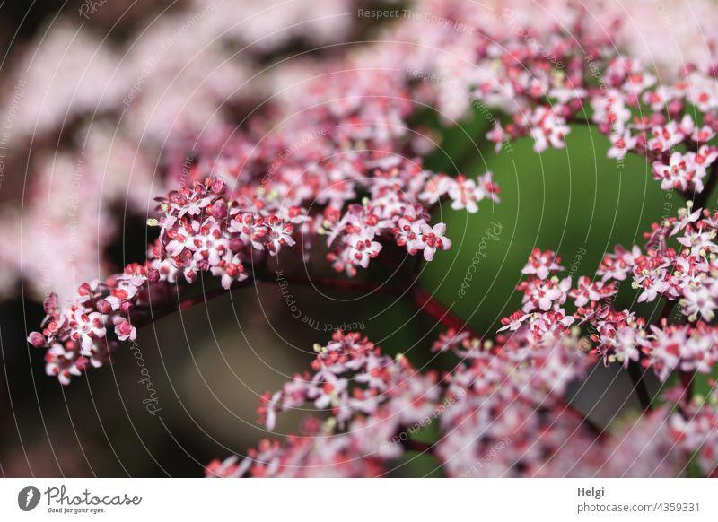 Zwischenräume   zwischen den Blüten des Schwarzen Holunders (Sambucus nigra) schwarzer Holunder Strauch schwarzer Flieder Holler Holder Heilmittel