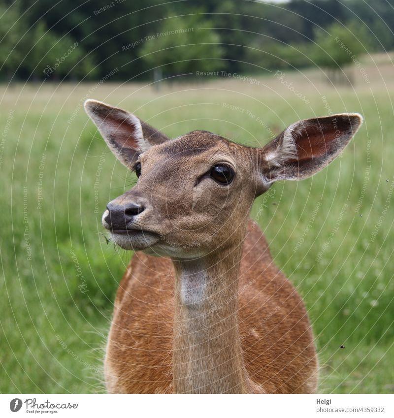 Damtier in einem Wildgehege Damwild weiblich Tiergesicht Nahaufnahme Tierporträt Außenaufnahme Natur 1 Menschenleer Schwache Tiefenschärfe Farbfoto Wildtier