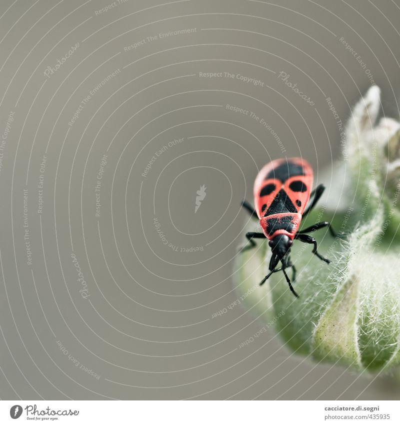 Nur mal gucken Natur Sommer Schönes Wetter Pflanze Tier Wildtier Käfer Wanze Feuerwanze 1 exotisch Freundlichkeit einzigartig klein nah Neugier grau grün orange