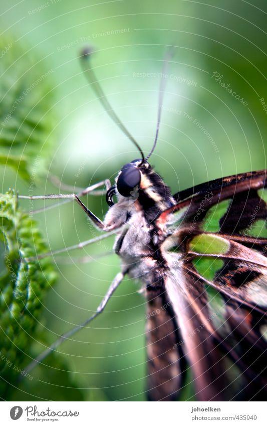 Ick gloob ick spinne | gar nicht, ick schmettere schön grün weiß Tier Liebe Freiheit klein Beine braun fliegen Romantik Engel Insekt nah Verliebtheit Schmetterling