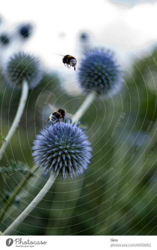 Kugeldistel mit Hummeln Bienenweide nahrungssuche Blüte Insekt Sommer Menschenleer Blume Pflanze Farbfoto Außenaufnahme Nektar Pollen Garten bestäuben