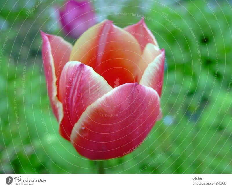 flower2 [tulpe] Natur Blume Pflanze rot nah Tulpe
