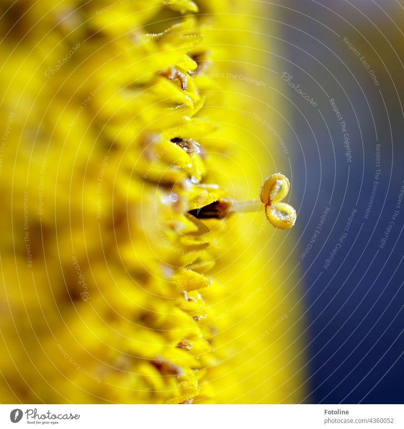 Gärtnern für Anfänger X - Eine Sonnenblume mal gaaanz nah mit der Makrolinse betrachtet. Blume Steingarten Pflanze Natur Außenaufnahme Farbfoto Menschenleer Tag