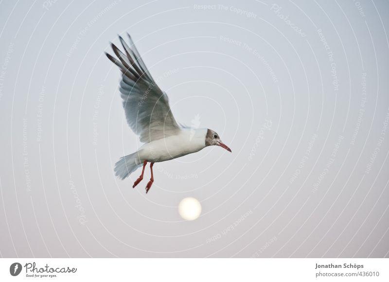 Flug über den Mond I Tier Vogel 1 außergewöhnlich Abend Mondschein Mondaufgang Möwe Möwenvögel fliegen fliegend Freiheit Flügel Schweben erhaben Höhe Überflug