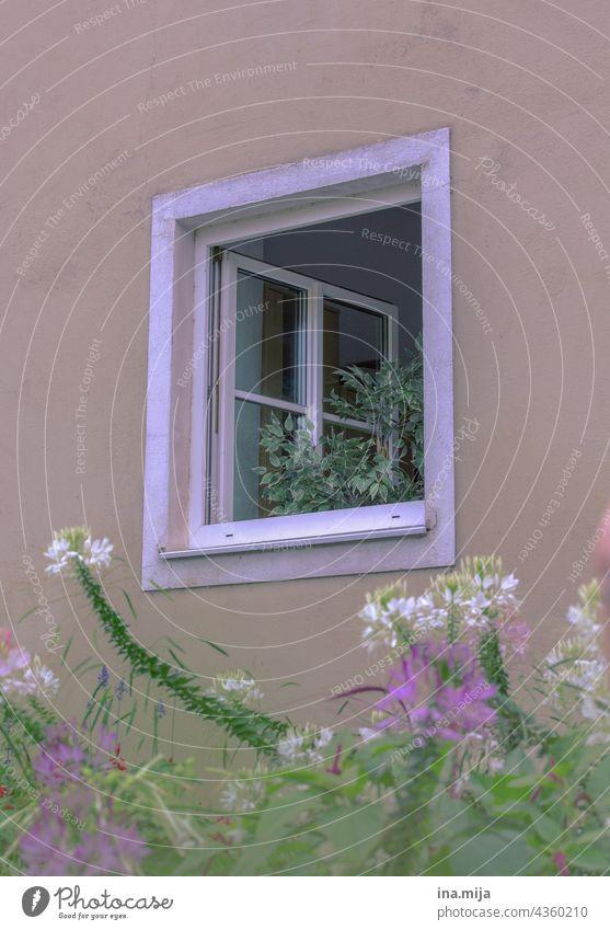 Fenster, Pflanzen / Blumen Stadt Stadtleben Landleben wohnen Häusliches Leben Fassade Haus Architektur Gebäude Wand Bauwerk Wohnung Fikus blühen Garten Balkon