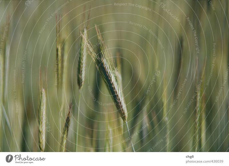 Gerstenähre Lebensmittel Getreide Teigwaren Backwaren Brot Ernährung Bioprodukte Vegetarische Ernährung Natur Pflanze Sommer Nutzpflanze Essen Wachstum