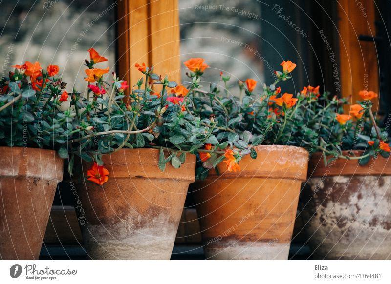 Kleine rote Blumen in Tonblumentöpfen auf einer Fensterbank Blumentöpfe Tontöpfe bepflanzt Haus hübsch dekorativ draußen schön