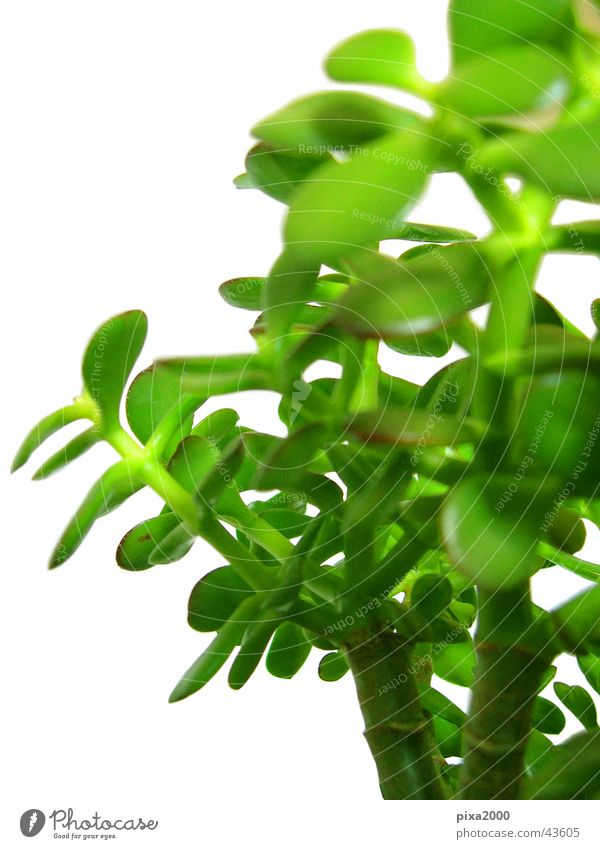 penny tree Pflanze Stil Hintergrundbild Freisteller Fototechnik