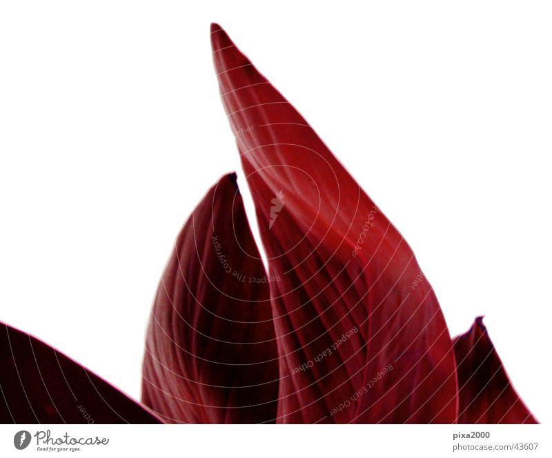 red flame Pflanze Stil Hintergrundbild Fototechnik