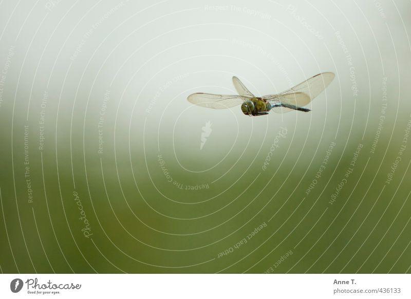 Hubschraubbär Wildtier Flügel Libelle 1 Tier fliegen frei grün authentisch Freiheit Natur Farbfoto Außenaufnahme Luftaufnahme Tag Sonnenlicht Tierporträt