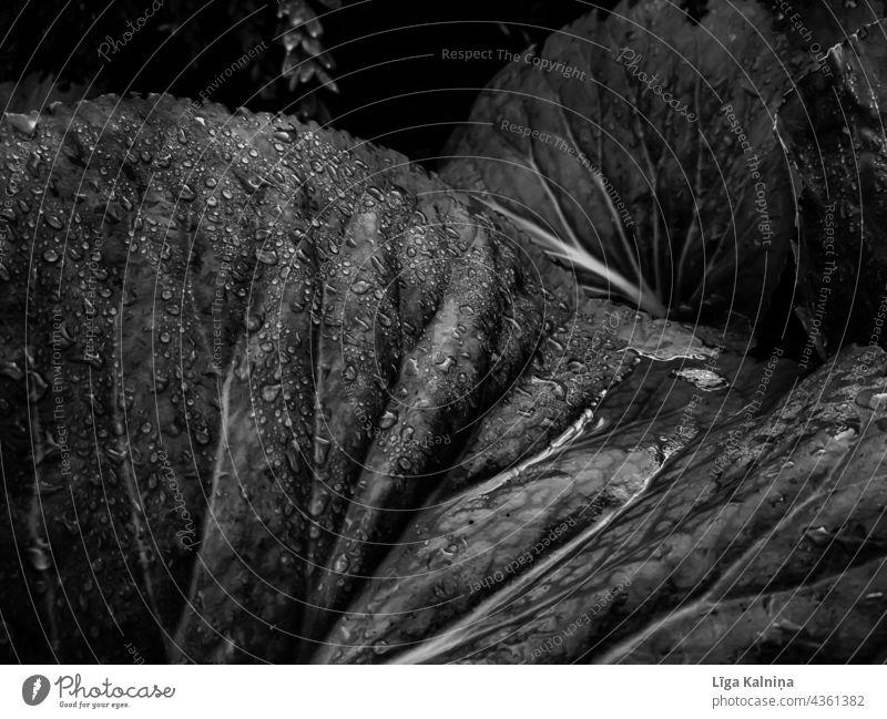 Blätter mit Wassertropfen in Schwarz und Weiß Blatt Natur Schwarzweißfoto Regen Pflanze nass Damp Nahaufnahme Makroaufnahme Detailaufnahme Tropfen Tau Licht