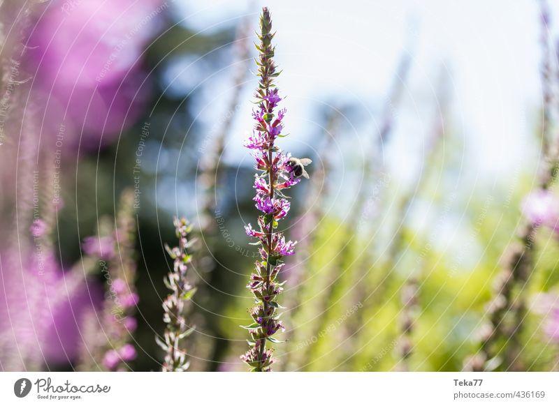 Sommerwiese Natur Ferien & Urlaub & Reisen Pflanze Landschaft Tier Gefühle Blüte Stimmung Freizeit & Hobby Wildtier ästhetisch Ausflug Biene Grünpflanze