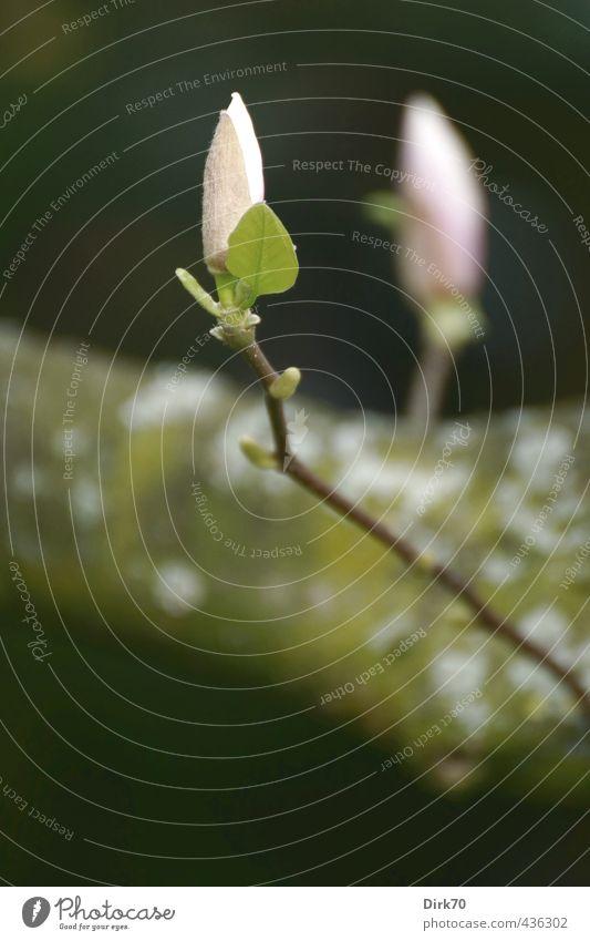 Magnolienknospen Pflanze grün weiß Blatt schwarz Leben Blüte natürlich Garten braun rosa Park Wachstum frisch Sträucher Ast