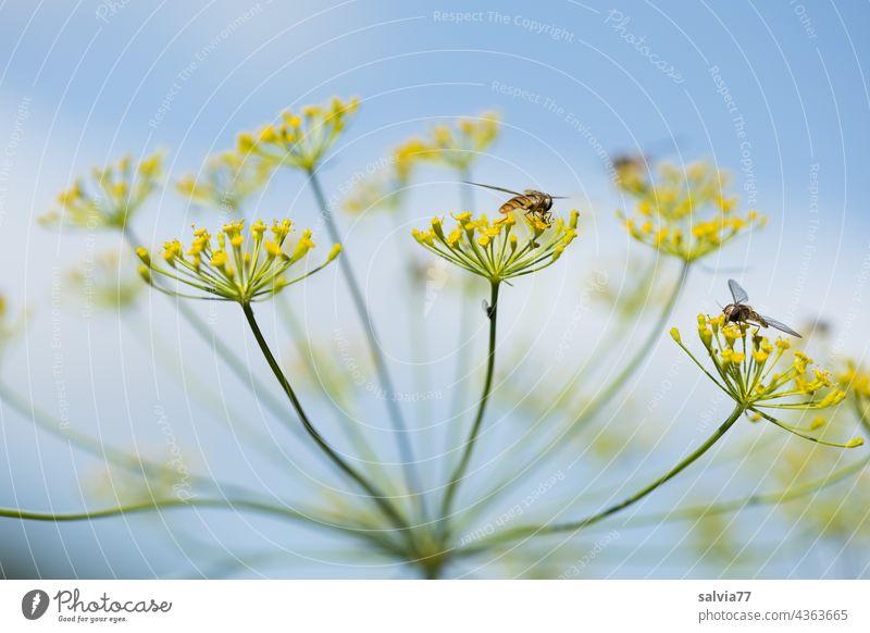 Nahaufnahme einer Dillblüte, im Hintergrund Wolken und Himmel Doldenblütler Natur Doldenblüte Heilpflanzen Nutzpflanze Makroaufnahme schwebefliege Farbfoto