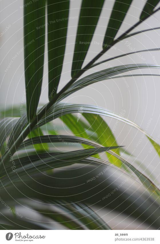 Palmenwedel Goldfruchtpalme grün Pflanze Blatt Natur Nahaufnahme Sommer Ferien & Urlaub & Reisen Menschenleer Farbfoto grau Hintergrund neutral Außenaufnahme