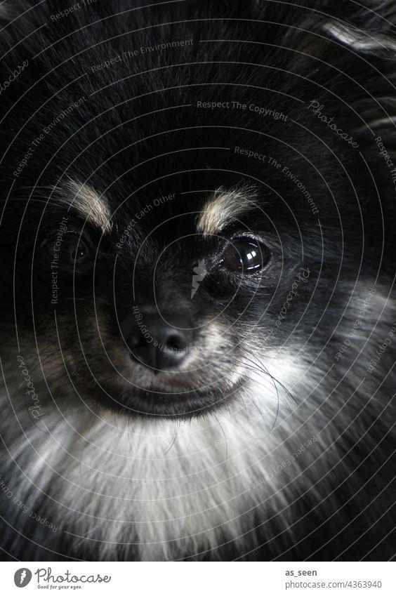 Spitz pass auf! Hund Portrait Gesicht Tiergesicht Farbfoto gedeckte Farben Haustier 1 Tierporträt Tag Gedeckte Farben niedlich Blick in die Kamera weiß Fell