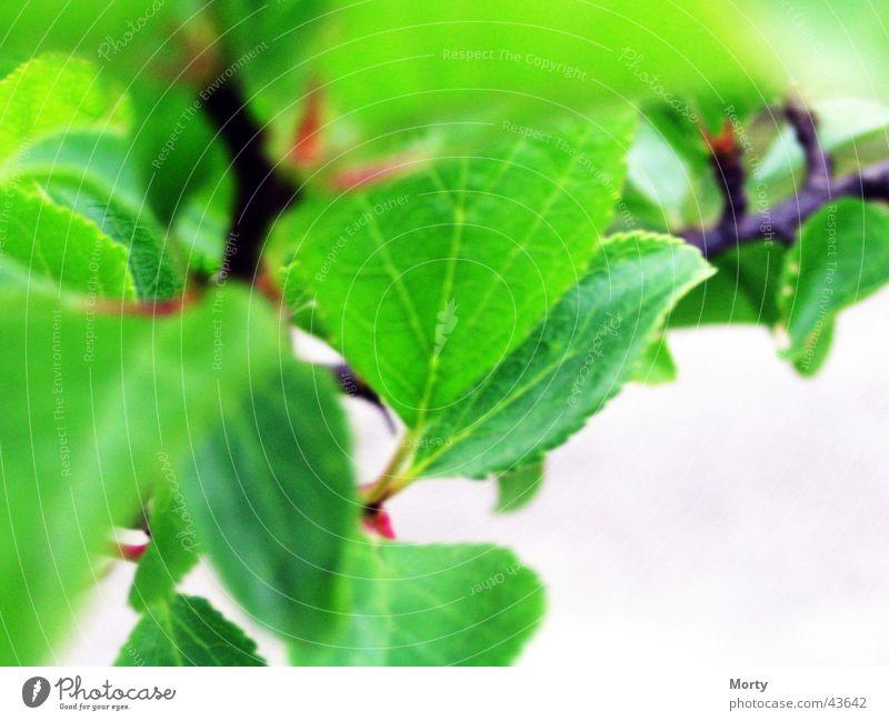 Zwetschgen Blätter Blatt Pflaume Unschärfe Unscharfe Blätter