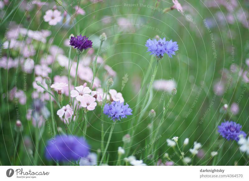 Blaue Kornblumen und Rosa farbige Wiesen Kräuter in farbenfroher Zusammensetzung Wegesrand Sommer Pflanze Außenaufnahme Umwelt Menschenleer Blüte natürlich